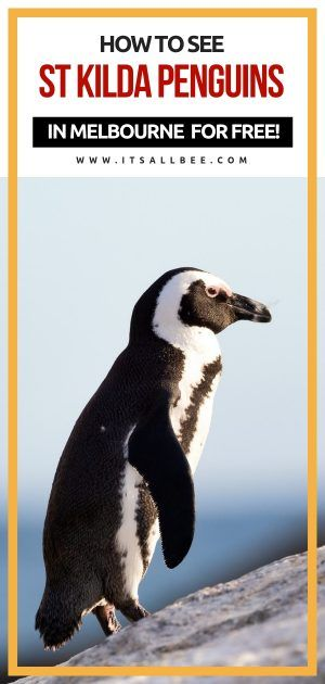 Skip Expensive Tours To Philip Island And See St Kilda Penguins In Melbourne For Free Penguins St Kilda Australia Tourism