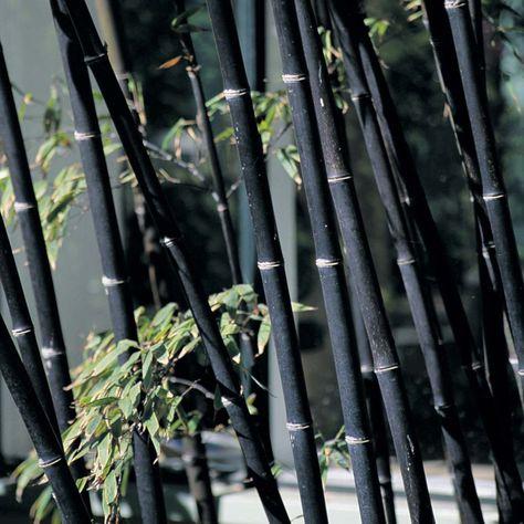 Color Negro - Black!!! Black Bamboo