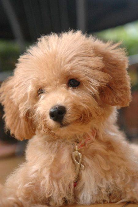 Brown Toy Poodle Mix Photo Toy Poodle Brown Toy Poodle Poodle Puppy