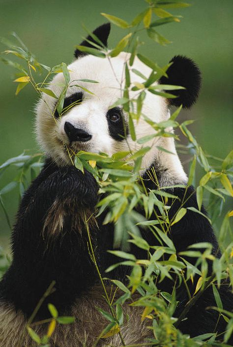 Cute Baby Animals, Animals And Pets, Panda Mignon, Baby Panda Bears, Baby Pandas, Giant Pandas, Red Pandas, Panda Wallpapers, Panda Love