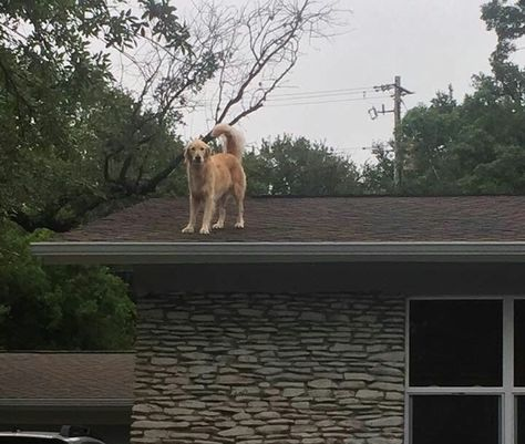 People Are Obsessed With This Dog Named Huckleberry Who Likes To Chill On A Roof Dogs Dog Names Golden Retriever