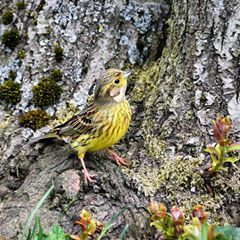 Yellowhammer (f) #Nature #Wildlife #Birds #Yellowhammer #female #shillito #wood #woods #Woodland #instagram #Photography #birdphotography #nikon #animals #closeup #ukbirds #ukwildlife #uknature