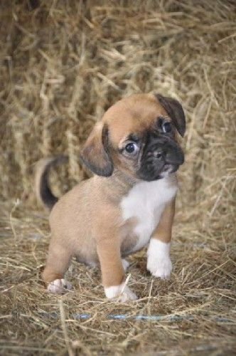 puggle - if i ever pull the trigger on getting a dog, this would be my ideal choice... so damn cute!