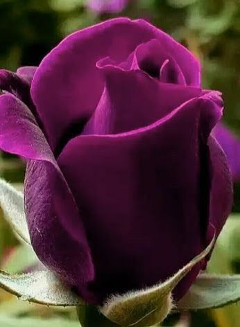 Pretty Colour Rose Hybrid Tea Roses Purple Flowers Flower Care