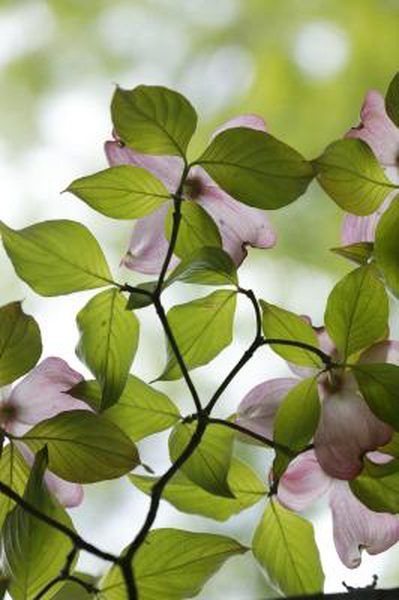 How To Take Cuttings From A Dogwood To Start A Tree Dogwood Shrub Dogwood Trees Dogwood Bush