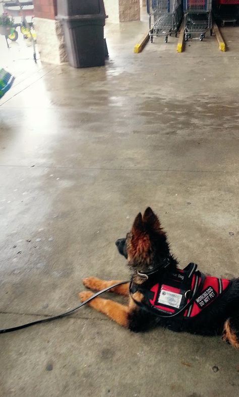 15 Wk Old Service Dog In Training First Time In Public In Vest