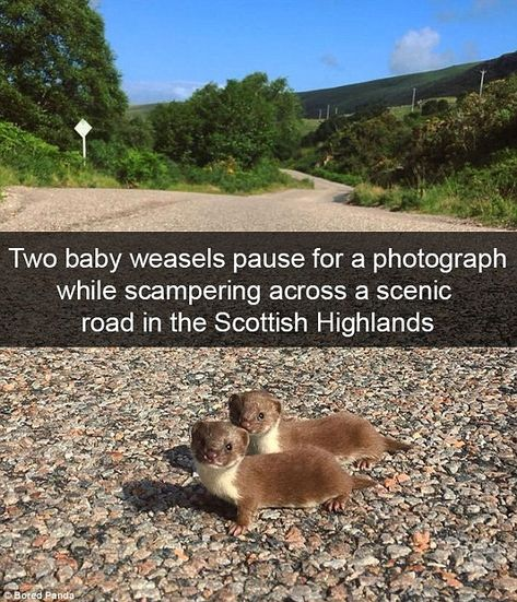 These tiny baby weasels struck a pose for this Snapchat user's trip to the scenic Scottish...
