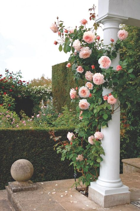 A Shropshire Lad climbing rose, David Austin roses. Climbing roses, such as 'A Shropshire Lad,' are quintessentially romantic. The Austins say they grow best in a north-facing position or partial shade, planted at least one foot away from the base of a wall.