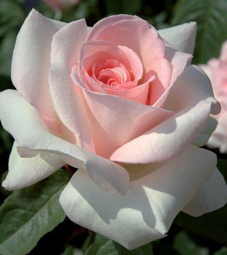 Rosier Prince Jardinier Meitroni Fruhling Blumen Rosen Schone Blumen Blumen