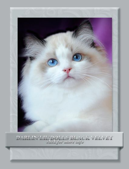 Pin By Leigh Lanier On Kitty Kitty Kitty Kitten Photos Ragdoll Kitten Kittens Cutest