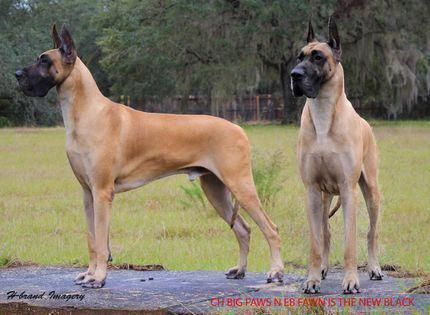 All The Things We All Adore About The Noble Great Danes Pups