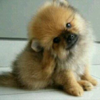 Awww Pomeranian Puppies Pomeranian Puppy Teacup Pomeranian Puppy