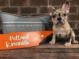 Dogs And Puppies For Sale Petland Knoxville Pet Store Tn In 2020 Maltipoo Dog Puppies For Sale Puppies