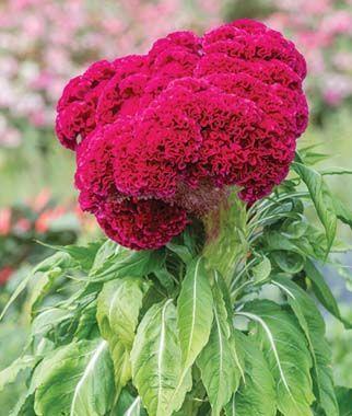 Red Velvet Celosia Seeds And Plants Annual Flower Garden At Burpee Com Annual Flowers Velvet Flowers Flowers