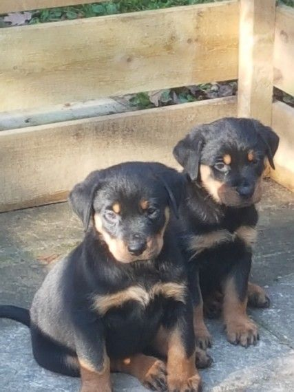 Happy Rottweiler Puppies Worcester Worcestershire Pets4homes