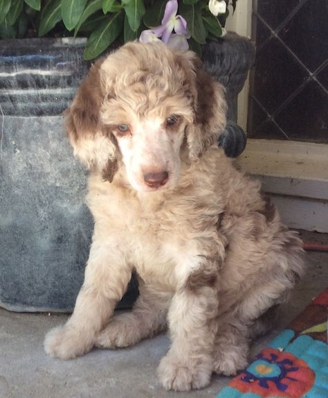 Puppies For Sale Poodle Puppy Poodle Puppy Standard Poodle