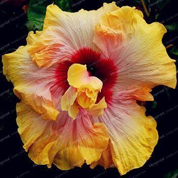 100 Pcs Giant Hibiscus Flower Seeds Hardy Rare Flore Tropical Jardins