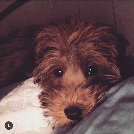 Whoodle Puppies For Sale Feathers And Fleece Farm In 2020 Whoodle Dog Schnoodle Puppy Whoodle Puppy