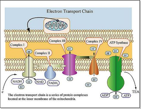 Electron Transport Chain | The electron transport chain is a… | Flickr