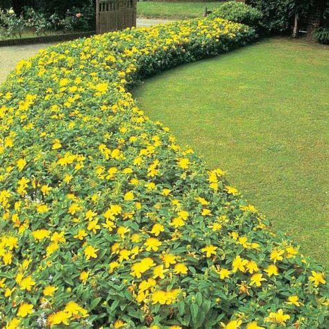 Johanniskraut-Pflanzen im Garten in Gruppen zusammenstellen Was - schone garten fur sparsame