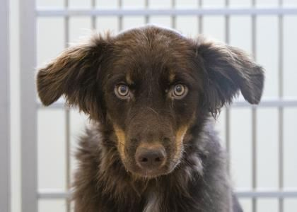Dogs For Adoption Petfinder The Coolest Border Collie Pets