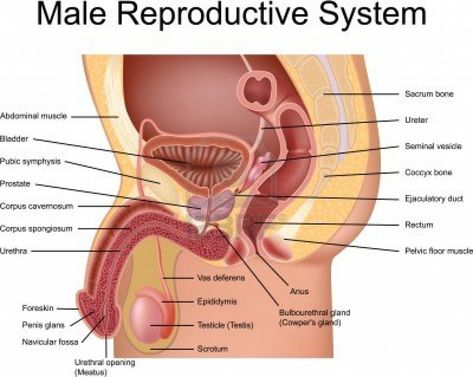 Male Human Anatomy Diagram human anatomy organs Reproductive