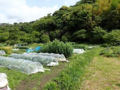 トマトの育て方 植え付けと支柱 暇人主婦の家庭菜園 画像あり