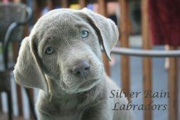 Silver Rain S Main Website Cheryl Silver Rain Labradors Ostrander Ohio Akc Silver White Champagne Charco Labrador Retriever Labrador Black Labrador Puppy
