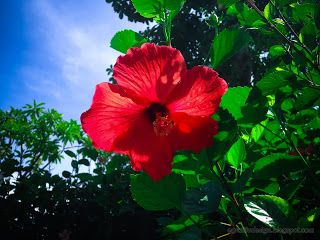 Sweet Red Hibiscus Rosa Sinensis Flower Blooming In The Sunny Day At Tangguwisia Village North Bali Indonesia