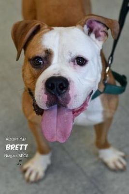 Niagara Falls Ny American Bulldog Meet Brett A Dog For Adoption American Bulldog Dog Adoption Nyc Dogs