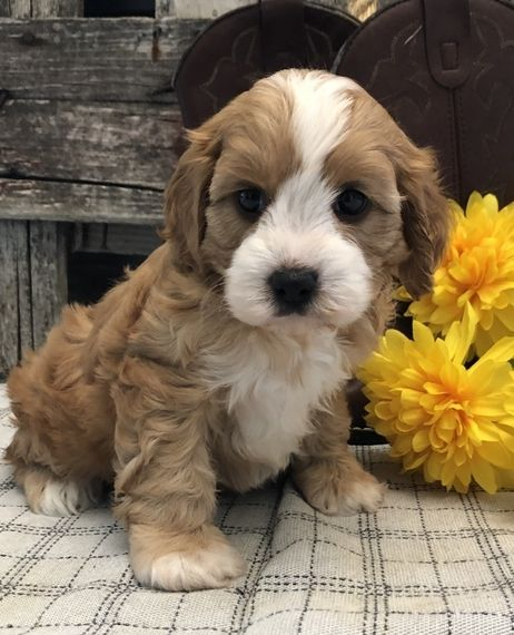 Bronson Cavapoo Puppy 610531 Puppyspot In 2020 Cavapoo Puppies Puppies That Dont Shed Super Cute Puppies