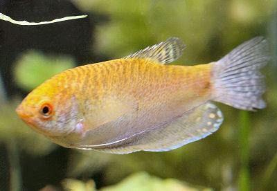 Gold Gourami Trichopodus Trichopterus Variety Previously Trichogaster Trichopterus Indoor Water Garden Biotope Aquarium Fish Tank