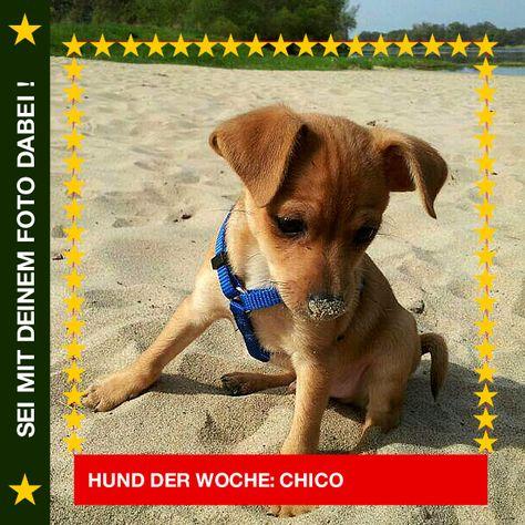 Broholmer Chico Mein Erster Urlaub An Der See Und Schon Hab Ich Sand An Der Nase Hund Chico Rasse Broholmer Mehr Labrador Retriever Dogs Animals