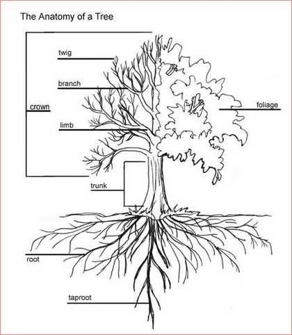 Oak Tree Root System Google Search Tree Drawing Tree Roots Tree