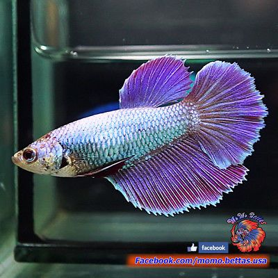 Live Betta Female Metallic Baby Blue Purple Rosetail Halfmoon Hm 1287 Betta Blue And Purple Baby Blue