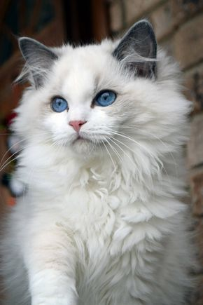 Ohemgee Cattery #ragdollkittens Ohemgee Nenya Now living in Thailand Blue bi color Ragdoll #ohemgee #cats #cat #fluffycat #ragdolls #ragdoll #kittens #blueragdoll #bluebicolor #blueeyes