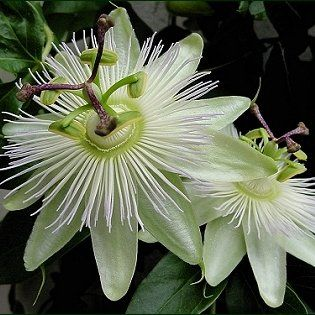 Passiflora Caerulea Constance Elliot White Passion Flower In 7cm