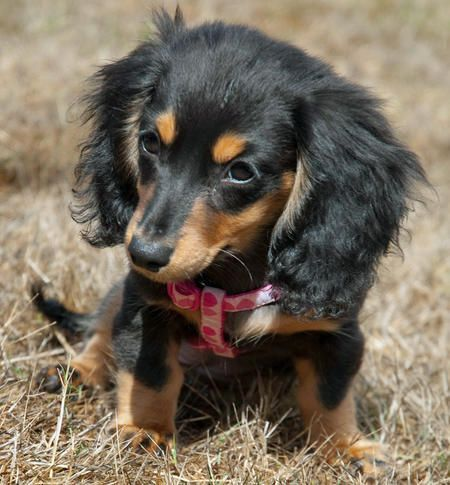 Anastasia The Miniature Dachshund Puppies Daily Puppy