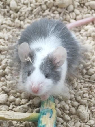 Calypso Pet Rats Cute Animal Pictures Pets