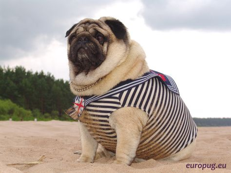 Big Pug Is Resting On The Gulf Of Finland Mops