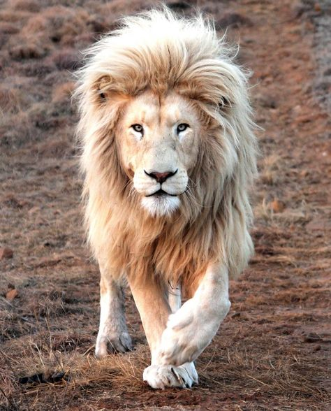 The MANE attraction - King Lion shows off all its beauty in South Africa - Storytrender