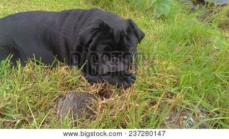 Lonely Black Pug On Grass Head Resting On His Paw Black Pug