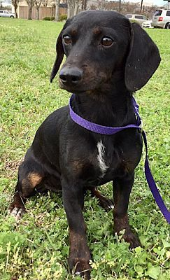 Houston Tx Dachshund Meet Daenerys Targa A Pet For Adoption Dachshund Adoption Pet Adoption Pets