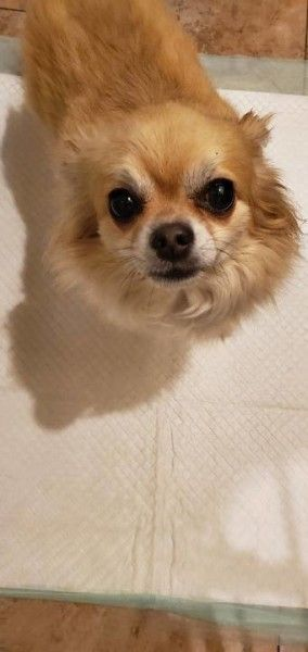 Enzo Is A Chihuahua Dog For Adoption In Southbridge Massachusetts