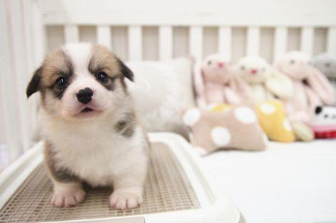 Pembroke Welsh Corgi Puppy For Sale In San Jose Ca Adn 54717 On