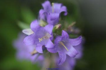 Fiori Campanelle.Flower Campanella Barbuta Fiore Violet Fiori