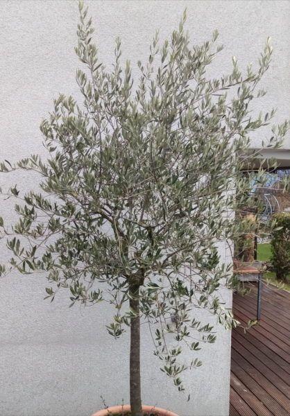Olivenbaum Schneiden Schritt Fur Schritt Schneide Anleitung Olivenbaum Schneiden Olivenbaum Mediterraner Garten