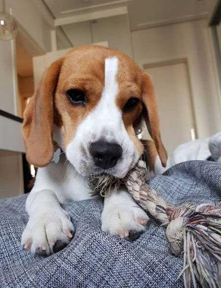 Beagle Puppy Eating A Rop Beagle Puppy Eating A Rope Beagle