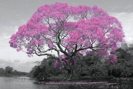 Ogromne Drzewo Rozowe Kwiaty Plakat Opinie I Atrakcyjne Ceny Na Ceneo Pl Giant Poster Color Photography Poster Prints