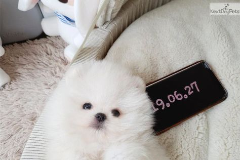 Calvin Pomeranian Puppy For Sale Near Houston Texas B562275f Df41 Pomeranian Puppy For Sale Pomeranian Puppy White Pomeranian